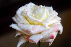 Primer color de rosa salvaje blanco imagenes de archivo