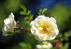 Primer color de rosa salvaje blanco de la flor Fotografía de archivo