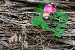 Primer color de rosa salvaje de la flor Imagen de archivo libre de regalías