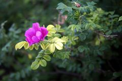 Primer color de rosa salvaje de las flores imagen de archivo