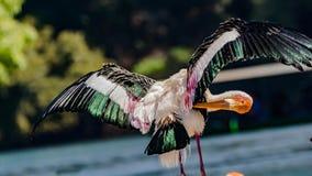 Primer colorido: Cigüeña pintada que toma el sol y que se atusa foto de archivo