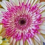 Primer colorido de la flor de la rosa fotos de archivo