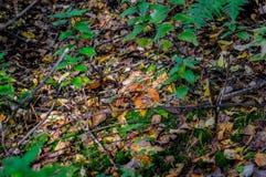Primer comestible de las setas del bosque del otoño Fotos de archivo