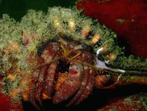 Primer con el cangrejo de ermitaño, la belleza del salto subacuático del mundo fotos de archivo