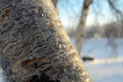 Primer congelado del árbol de abedul en Laponia Fotos de archivo