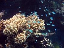 Primer coral2 Foto de archivo