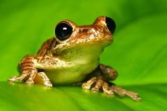 Primer cubano del treefrog en la hoja retroiluminada Imagen de archivo