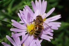 Primer de abejas caucásicas con la miel en aster alpino Imagen de archivo libre de regalías