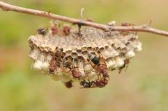 Primer de abejas en el panal Fotografía de archivo