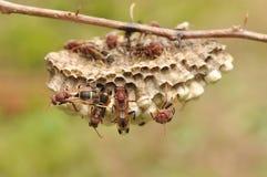 Primer de abejas en el panal Imagen de archivo