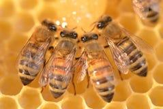 Primer de abejas en el panal Fotografía de archivo libre de regalías