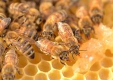 Primer de abejas en el panal Imágenes de archivo libres de regalías