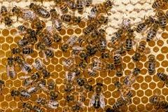 Primer de abejas en el panal en colmenar Fotografía de archivo