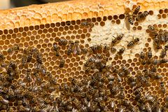 Primer de abejas en el panal en colmenar Foto de archivo libre de regalías