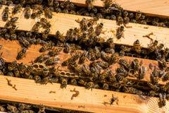 Primer de abejas en el panal en colmenar Imagenes de archivo