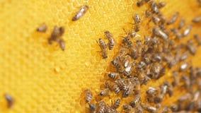 Primer de abejas en el panal en colmenar vídeo de la cámara lenta del foco selectivo Panales de la forma de vida de la abeja con  metrajes