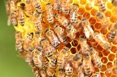 Primer de abejas en el panal en colmenar Fotografía de archivo libre de regalías