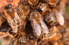 Primer de abejas en el panal en colmenar Imagen de archivo