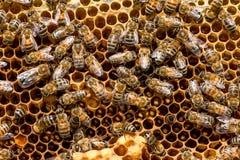 Primer de abejas en el panal en colmenar Imágenes de archivo libres de regalías