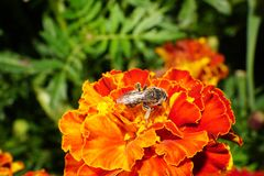 Primer de abejas salvajes caucásicas en tagetes Fotos de archivo