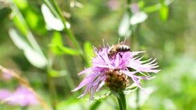Primer de acopio divertido del vuelo del polen de la flor de la abeja, abeja de la miel metrajes