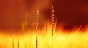 Primer de alguna hierba soleada del campo del verano Fondo de Ultrawide, color caliente ligero Foto de archivo libre de regalías