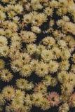 Primer de arriba hermoso tirado de campo de flor amarillo del aster imagen de archivo libre de regalías