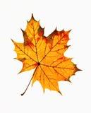 Primer de Autumn Leaf Imagenes de archivo