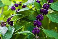 Primer de Beautyberry arbusto Fotos de archivo