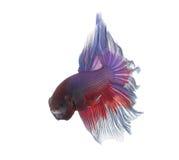 Primer de Betta Fish Dragon Fish colorido Foto de archivo