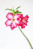 Primer de Bigononia rosado o del desierto Rose (flor tropical) Fotos de archivo
