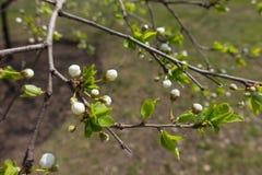 Primer de brotes en rama del cerezo en primavera Foto de archivo libre de regalías