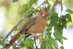 Primer de Brown Bird Sitting cardinal femenino en el árbol que mira la cámara Imágenes de archivo libres de regalías