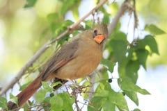 Primer de Brown Bird Sitting cardinal femenino en el árbol que mira la cámara Foto de archivo libre de regalías