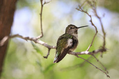 Primer de Brown y del colibrí verde que se sientan en rama de árbol en Sun con las plumas Fluffed Foto de archivo