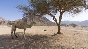 Primer de camellos en el desierto Foto de archivo libre de regalías