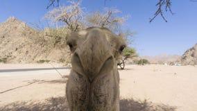 Primer de camellos en el desierto Foto de archivo