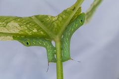 Primer de Caterpillar, gusano verde Imagen de archivo