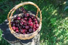 Primer de cerezas en una cesta cesta con las cerezas escogidas Foto de archivo