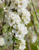 Primer de Cherry Flower en el flor Imagen de archivo libre de regalías