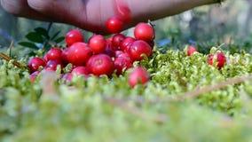 Primer de Clusterberry (arándano rojo o lingonberry), bosque, almacen de video