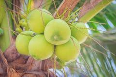 Primer de cocos verdes en el árbol de coco Imágenes de archivo libres de regalías