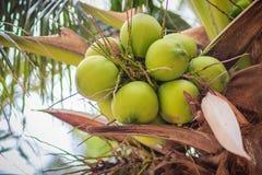 Primer de cocos verdes en el árbol de coco Imagen de archivo libre de regalías