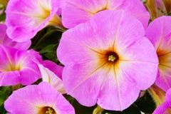 Primer de colocar petunias rosadas Fotos de archivo libres de regalías