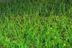 Primer de crecer la plantación de la cebolla verde en el huerto imagenes de archivo