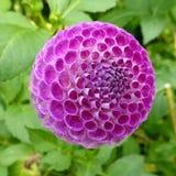 Primer de Dahlia Oreti Duke púrpura hermosa Fotografía de archivo libre de regalías