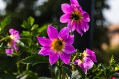 Primer de dalias con la abeja de la miel Imagen de archivo