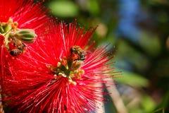 Primer de dos abejas en las flores rojas Imagen de archivo libre de regalías