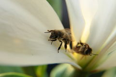 Primer de dos abejas en un flor por luz del día Foto de archivo