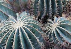 Primer de dos cactus de barril de oro imágenes de archivo libres de regalías